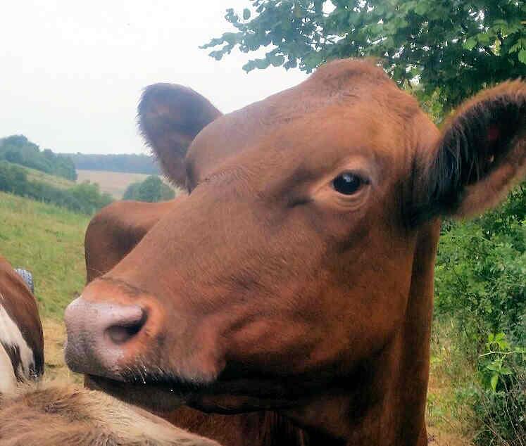 Die Kuh Lisa ist eine sehr zahme Deutsch-Angus.
