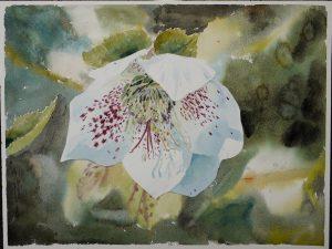Weiße Christrose auf dunklem Hintergrund