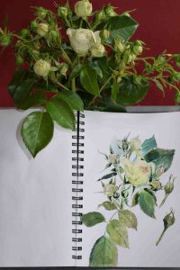 Rose in Aquarell im Skizzenbuch Stillman & Birn Beta