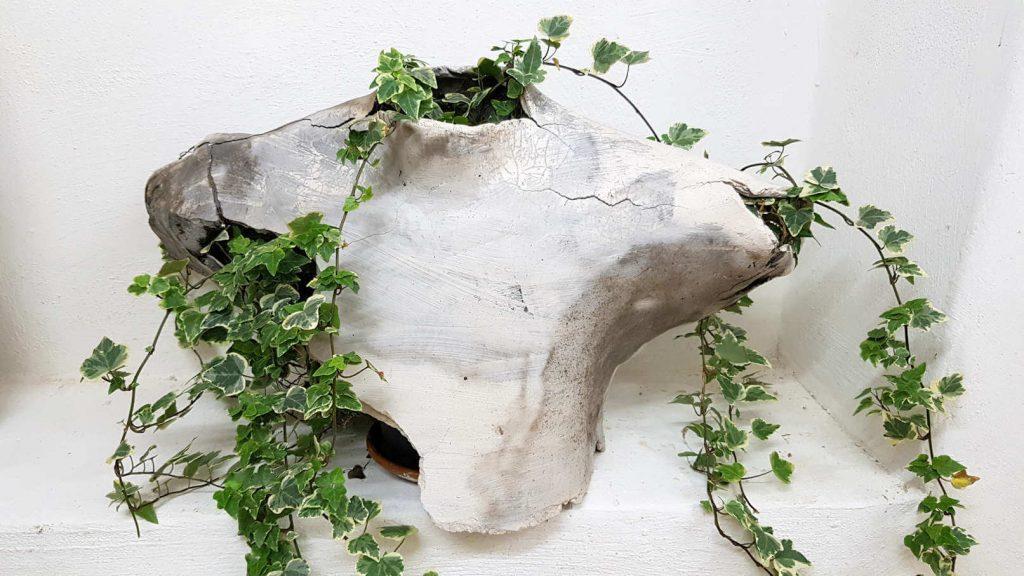 Efeu wächst aus Keramikkörper.